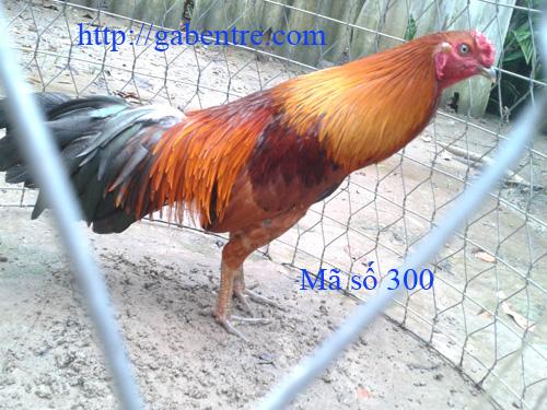 vàng chân xanh 2,55 kg