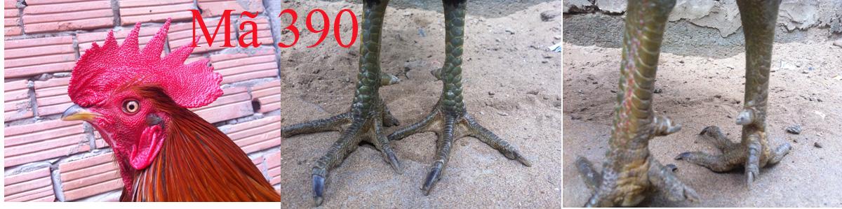 vàng chân xanh 2,7kg lai mỹ