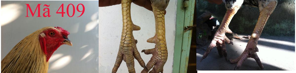 chuối chân thao lai 50 - liên giáp nội