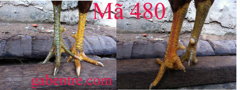 vàng 2,1k - chân xnah - chân vàng