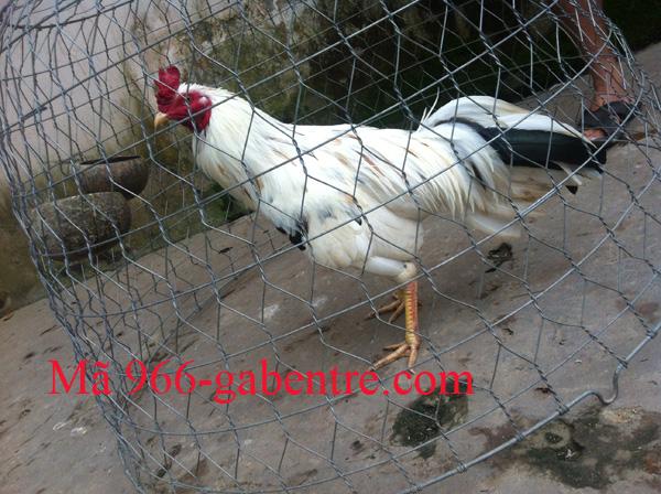 Gà có cựa mọc phía dưới mỏ dưới của gà