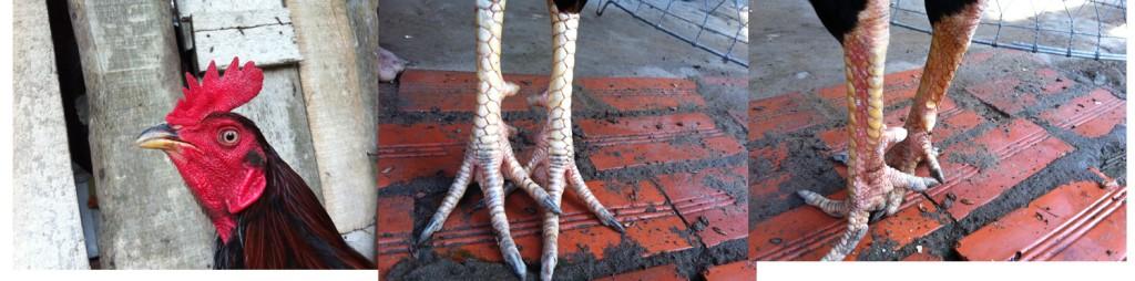 chân phải xiên đao-chân trái liên giáp cựa